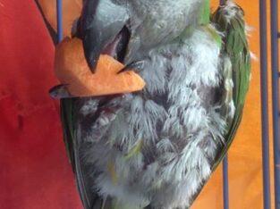 Χάθηκε παπαγάλος Σενεγάλης με δαχτυλίδι QT587 Πτηνό- Τερψιθέα